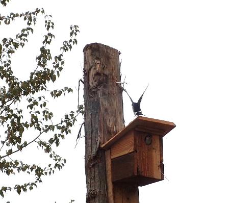 Swallows_at_C_H_Wetland