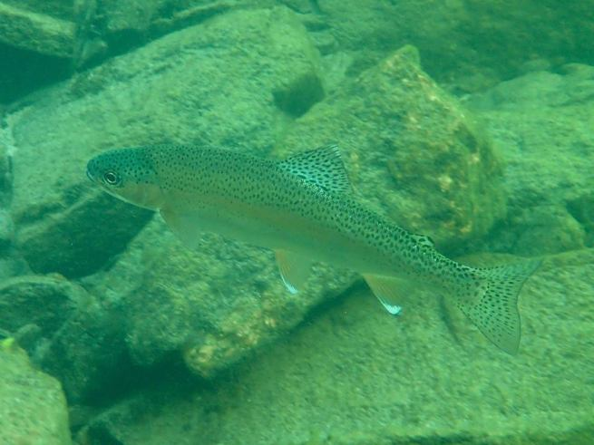 Slocan River rainbow trout,